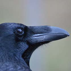Raven Theory of Mind