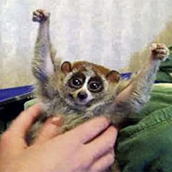 The Slow Loris and the Pet Industry